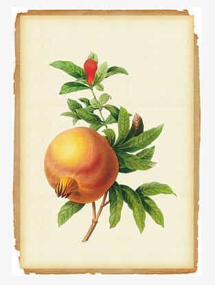 Botanical Pomegranate Art Print On Paper