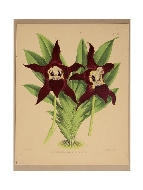 Buy BATEMANNIA WALLIS II MAJOR Hand-Painted Orchid Lithograph-Wall ...